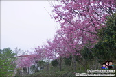 苗栗獅潭蓮臺山賞櫻:DSC_5132.JPG