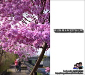 南投貓羅溪畔風鈴樹花開:DSC_1641.JPG