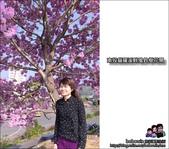 南投貓羅溪畔風鈴樹花開:DSC_1607.JPG