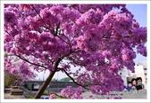 南投貓羅溪畔風鈴樹花開:DSC_1593.JPG