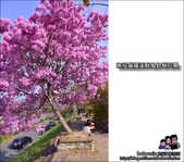 南投貓羅溪畔風鈴樹花開:DSC_1598.JPG