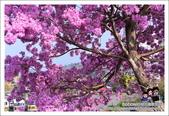 南投貓羅溪畔風鈴樹花開:DSC_1599.JPG