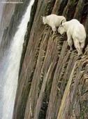 山羊相片:ATT00028.jpg