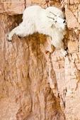 山羊相片:ATT00031.jpg