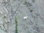 山羊相片:ATT00043.jpg
