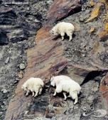 山羊相片:ATT00058.jpg