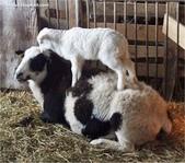 山羊相片:ATT00070.jpg