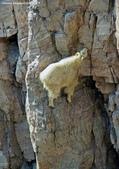 山羊相片:ATT00073.jpg
