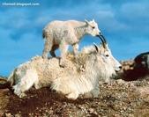 山羊相片:ATT00088.jpg