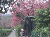 99---櫻花林:IMG_3756_調整大小