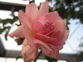 99---玫瑰:IMG_7440_調整大小