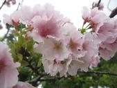 99---櫻花林:IMG_5046_調整大小