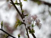 99---櫻花林:調整大小DSC_0948