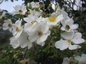 99---玫瑰:IMG_6134.JPG
