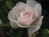 99---玫瑰:IMG_6196_調整大小