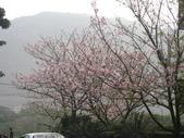 99---櫻花林:IMG_4866_調整大小