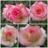99---玫瑰:新麗娜