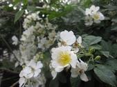 99---玫瑰:IMG_6085.JPG
