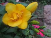 99---玫瑰:IMG_5877_調整大小