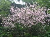 99---櫻花林:IMG_4863_調整大小