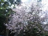 99---櫻花林:IMG_5265_調整大小