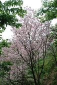 100之櫻花:DSC_0182.JPG