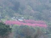 99---櫻花林:IMG_3696_調整大小