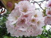 99---櫻花林:IMG_5042_調整大小