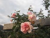 99---玫瑰:IMG_7377_調整大小.JPG