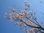 99---櫻花林:IMG_5308_調整大小