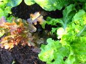 99-----菜花園:IMG_2753_調整大小