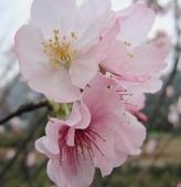 100之櫻花:IMG_5575.JPG