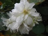 99---玫瑰:IMG_6081_調整大小