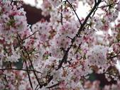 99---櫻花林:調整大小DSC_0931