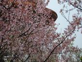 99---櫻花林:調整大小DSC_0923