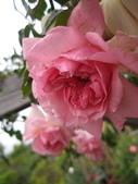 99---玫瑰:IMG_7446_調整大小