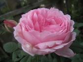 99---玫瑰:IMG_5553貝絲之妻_調整大小