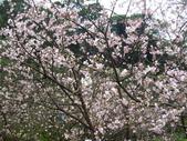99---櫻花林:IMG_4098_調整大小