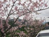 99---櫻花林:IMG_5060_調整大小