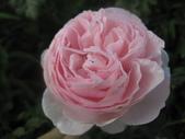99---玫瑰:IMG_6171_調整大小