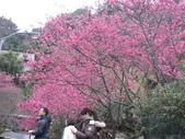 99---櫻花林:IMG_3719_調整大小