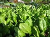 99-----菜花園:IMG_3141_調整大小