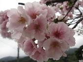 99---櫻花林:IMG_5037_調整大小