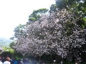 99---櫻花林:IMG_5264_調整大小