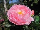 2011玫瑰:IMG_2742_調整大小.JPG