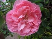 99---玫瑰:IMG_5562 (1)莫泊桑_調整大小