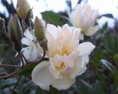菜花園:調整大小102_9535.JPG
