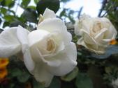 99---玫瑰:IMG_6080_調整大小