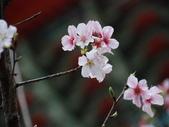 99---櫻花林:調整大小DSC_0877