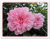 2011玫瑰:IMG_0807_調整大小.JPG